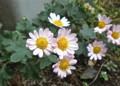 淡いピンク色の「ノジギク(野路菊)」。(23.11.3)