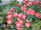 エンジ色の小菊。(23.11.3)