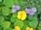 青紫色の紺菊と純黄色のナスタユーム。(23.11.3)