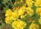 「アワコガネギク(泡黄金菊)」の花にアブ(虻)が…。(23.11