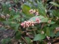今がさかり、「アイタデ(藍蓼)」の花。(23.11.4)