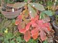意外な美しさ、「コナラ(小楢)」の紅葉。(23.11.4)