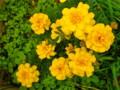 「マリーゴールド」の花。(23.11.5)