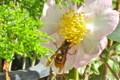 サザンカ(山茶花)の花にスズメバチが…。(23.11.7)
