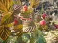真っ赤に熟した「ラズベリー」の実。(23.11.10)