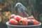 餌台の熟柿を啄む「ヒヨドリ」。(23.11.12)