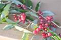 アキグミ(秋茱萸)の小枝。(23.11.12)