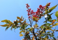 青空に映える「ナンテン(南天)」の赤い実い実。(23.12.28