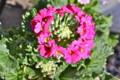 春の花の一番手、「プリムラマラコイデス」。(24.1.12)