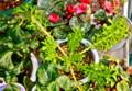 冬越し中の「ワサビ菜」。(24.1.16))