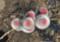 膨らんだ「ピンクネコヤナギ」の花穂。(24.2.22)