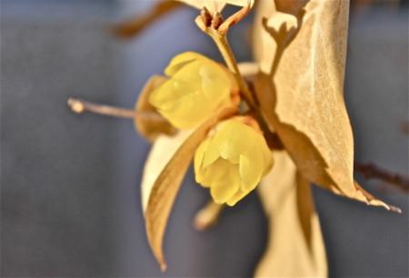 「ロウバイ(臘・蝋梅)」の開花。(