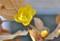 「ロウバイ(臘・蝋梅)」の開花。(24.2.23)