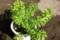 伸び始めた「ワサビ菜」の葉。(