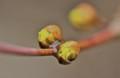「山茱萸」、苞葉が割れて小花が…。(24.3.23)