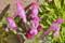 「ホトケノザ(仏の座)」の花を接写。(24.4.5)