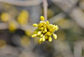 小花が開き始めた、「山茱萸」の花芽。(
