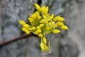 小花が開き始めた、「山茱萸」の花芽。(24.4.6)