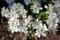 薄日を浴びる「イベリス」の花。(