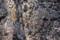 霜柱の中の、「カタクリ}の芽(葉)。(24.4.8)