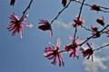 青空に映えて咲く「シデコブシ(四手辛夷)」の花。(