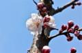 ほころび始めた「アンズ(杏)」の花。(24.4.21)