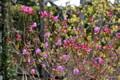 咲き始めた躑躅の仲間と、背景の山茱萸。(24.4.21)