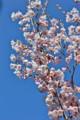 青空に映えて咲く「ヒガンザクラ(彼岸桜)」の花。(24.4.24)