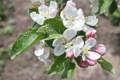 「りんご」の花。(24.5.14)