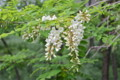 咲き始めた「ニセカカシア(ハリエンジュ)」の花。(24.5.29)