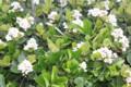 砂浜に咲く「ハマヒルガオ(浜昼顔)」の花。(2.6.1)