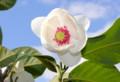 青空に映えて咲く「オオヤマレンゲ(大山蓮華)」の花。(24.6.7)