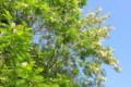 今が盛りの「ニセアカシア(ハリエンジュ)」の花。(24.6.6)