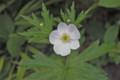 ひっそりと「フタマタイチゲ(二股一華)」の花。(24.6.9)
