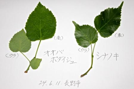シナノキの画像 p1_19