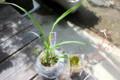 紹介する植物、陸羽1332号とユキノシタの花。(24.6.13)