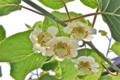 咲き始めた「キウイフルーツの雌花。(24.6.15)