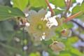 咲き始めた「キウイフルーツの雄花。(24.6.15)