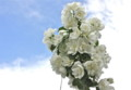 青空に映える「バイカウツギ(梅花空木)」の花。(24.6.20)
