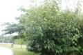 グミ(茱萸)の木立。(24.7.1)