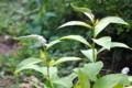 咲きはじめた「オカトラノオ(岡虎の尾)」(24.7.9)