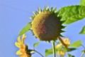 真夏の青空rに似合う「ヒマワリ(向日葵)」の花。(24.7.31)