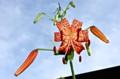 オニユリの花の上にもトンボが…。(24.8.3)