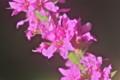 「ミソハギ(禊萩)」の花。(24.8.5)