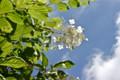 「ノリウツギ(糊空木)」の白い花。(24.8.5)
