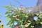 軒先を超えた「アサガオ(朝顔)」の花。(24.8.8)