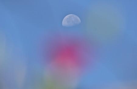 朝顔の上に、白いお月さま。(24.8.8)(8:22)