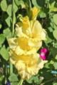 黄色のグラジオラス(24.8.8)