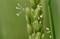 「イネ(稲)」の開花。(24.8.8)(13:01)