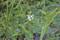「オモダカ(沢瀉)」とおもわれる白い花。(24.8.9)